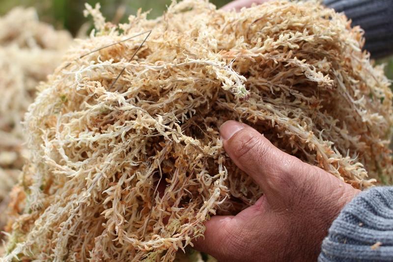 Macetas biodegradables logran dar valor agregado a pomponales del sur