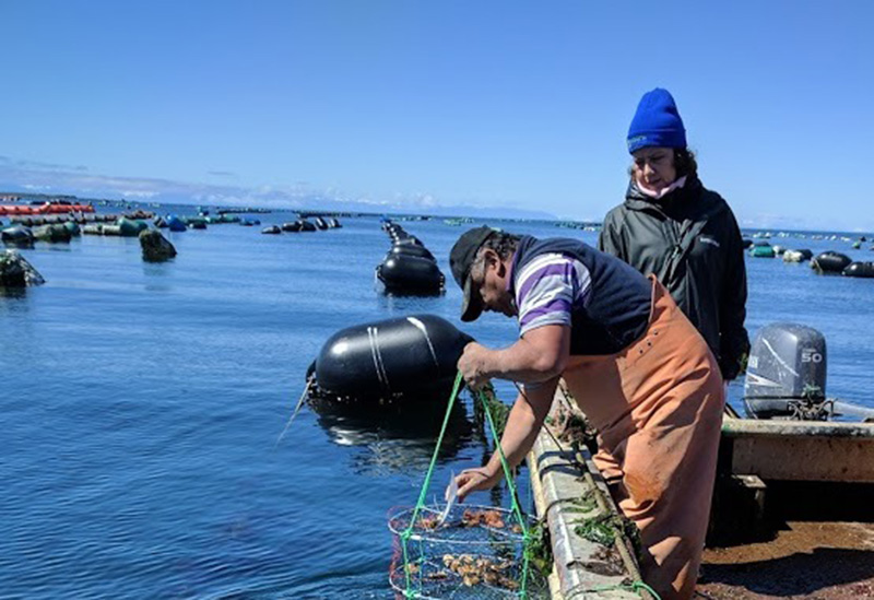 Proyecto de investigación busca fortalecer cultivo y sustentabilidad de la ostra chilena