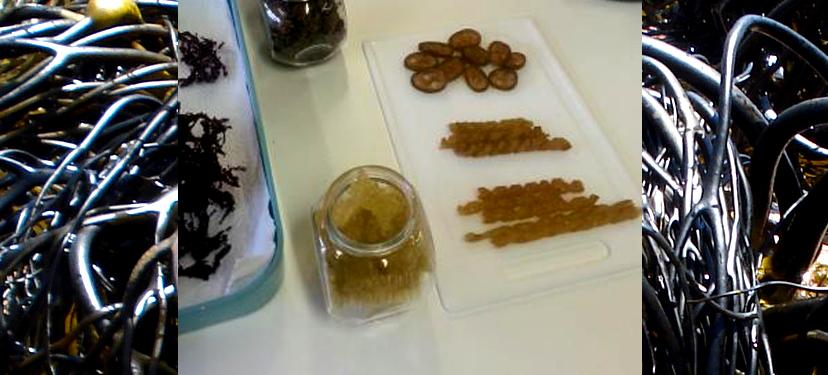 Uso y Aplicaciones de Algas Marinas Chilenas para Consumo Humano