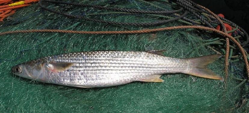 Lisa común Mugil cephalus, una alternativa tecnológica para el biocontrol de la caligidosis en la industria del salmón
