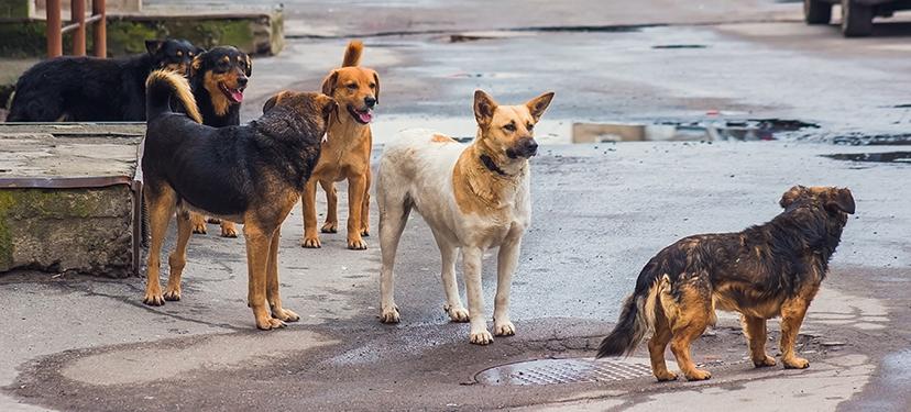 Innovación para el control de daños generados por perros en condición de calle o asilvestrados en la salud pública, el turismo y la ganadería, mediante técnicas de esterilización química y la educación formativa en el primer ciclo escolar