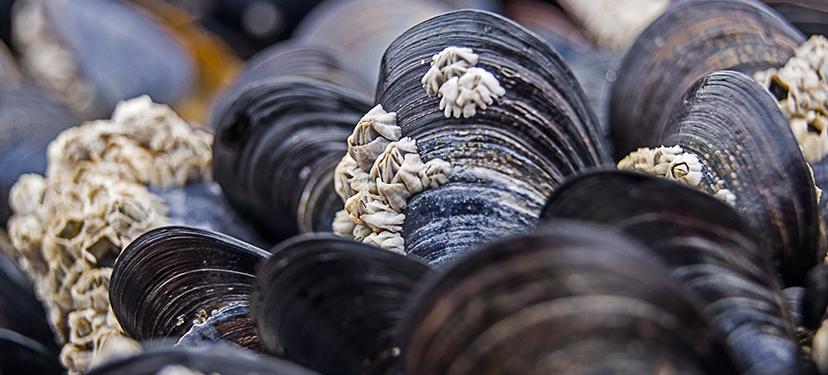 Mejoramiento de la competitividad y sustentabilidad de la industria cultivadora de mitílidos, a través del incremento de la capacidad reproductiva en la zona semillera de Hualaihué